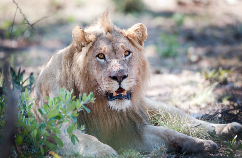 kwalata-game-lodge-in-dinokeng-big5-game-reserve-gauteng-game-drive-lion