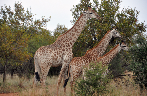 kwalata-game-lodge-in-dinokeng-big5-game-reserve-gauteng-game-drive-giraffe