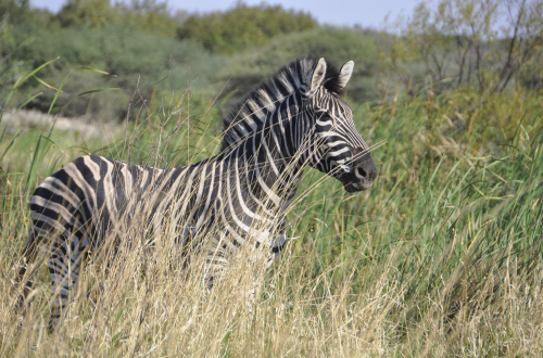 game-drive-gauteng-big5-kwalata-zebra-bush-veld